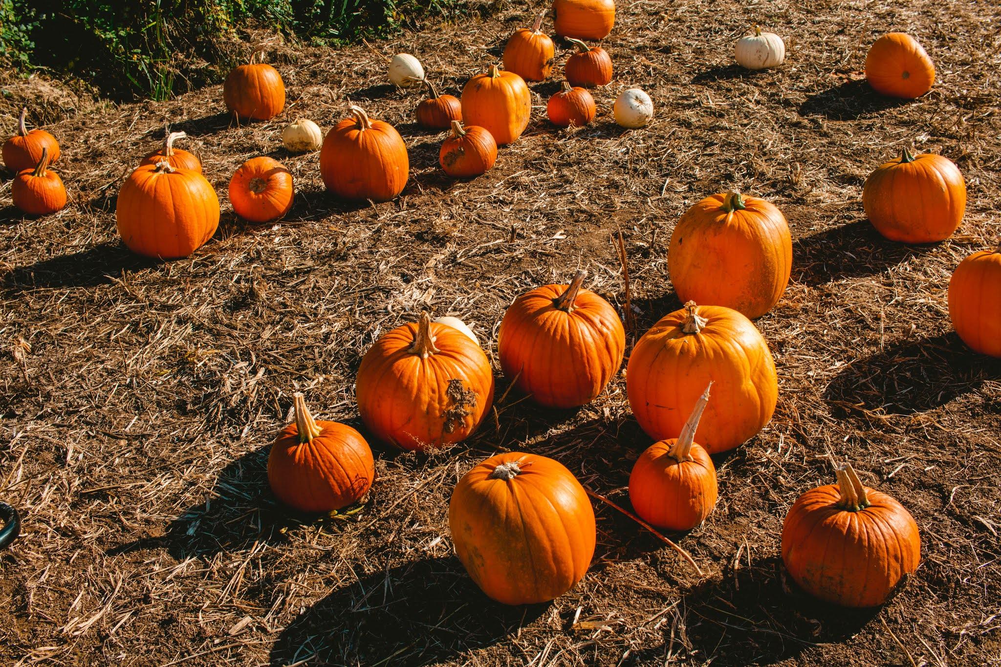 Autumn Pumpkins at Pumpkin Patch from Fall Pumpkin Picking Autumn Activities Blog Post