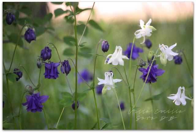 valkoiset kukat tanssivat niityllä kesäyönä :)