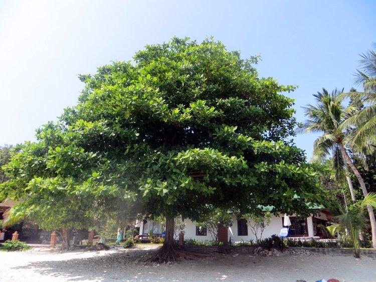 большое дерево на пляже