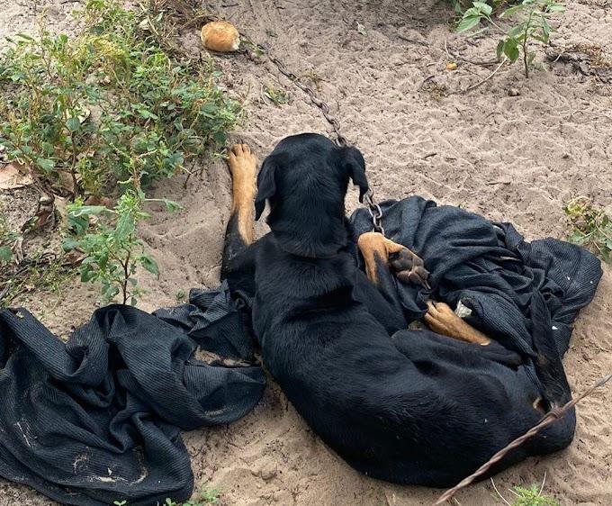 VÍDEO: Protetores de animais resgatam cão em situação de maus tratos em Tibau