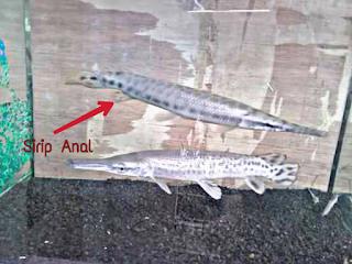 Perbedaan Ikan Aligator Jantan dan Betina