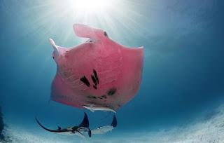 اغرب سمكة راي مانتا وردية اللون