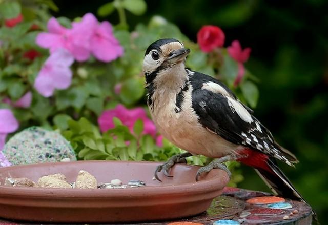 Burung Pelatuk Suara Kicau