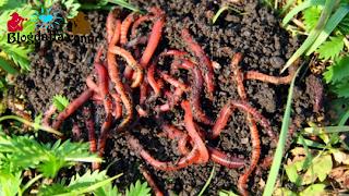 Manfaat Cacing Tanah untuk kebun