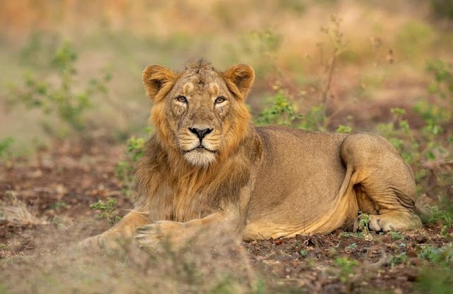 World Lion Day 2021 : पीएम मोदी ने दी बधाई