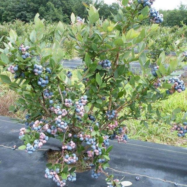 North Highbush Blueberry