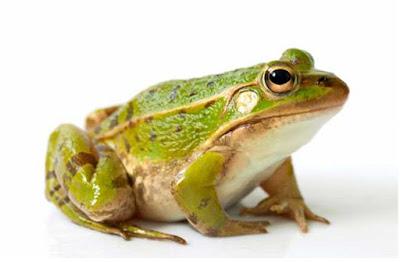 Katak dan ciri - ciri katak - berbagaireviews.com