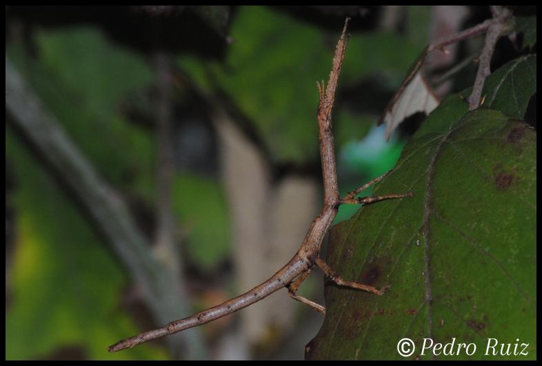 Ninfa hembra L3 de Achrioptera manga, 5 cm de longitud