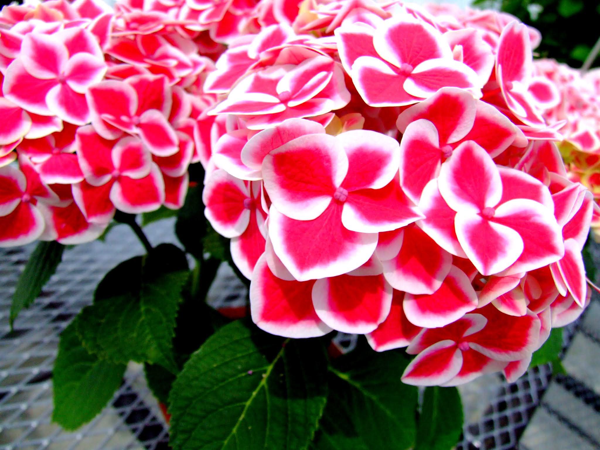濃いピンクと白い縁がとてもかわいいアジサイの写真素材です。梅雨の時期のブログなどを彩る素材としていかがでしょう。