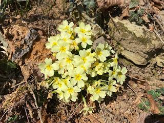 [Primulaceae] Primula vulgaris