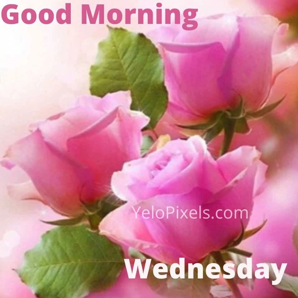 Three-Pink-rose-are-make-mode-fresh-as-it-is-good-morning-Wednesday