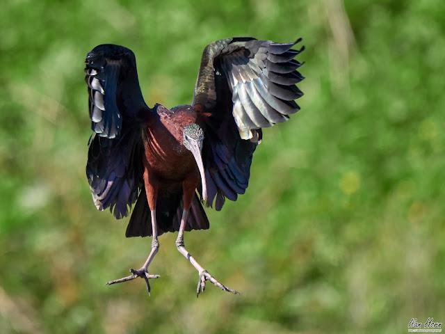 Glossy Ibis Landing