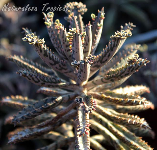 Vista de la planta Kalanchoe daigremontiana, Espinazo del Diablo