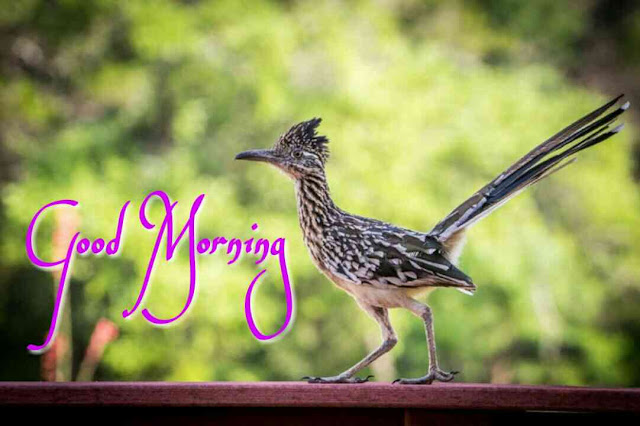 Good morning images of bird black and white roadrunner