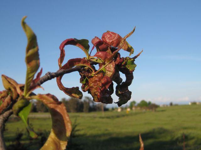 The Farmer Fred Rant Peach Leaf Curl