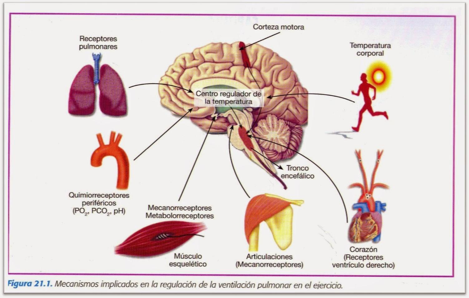 Control De La Respiración Y Dolor De Espalda: RESPUESTA RESPIRATORIA AL EJERCICIO