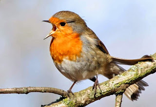 Suara kicau burung European robin