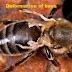اسباب تشوه اجنحة النحل امراض النحل و العلاج