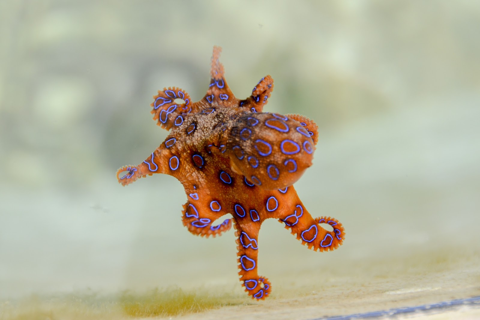 Picture  of a blue-ringed octopus.