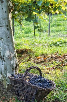Vindima na Serra Gaúcha: lugares onde você pode participar da colheita e pisa das uvas