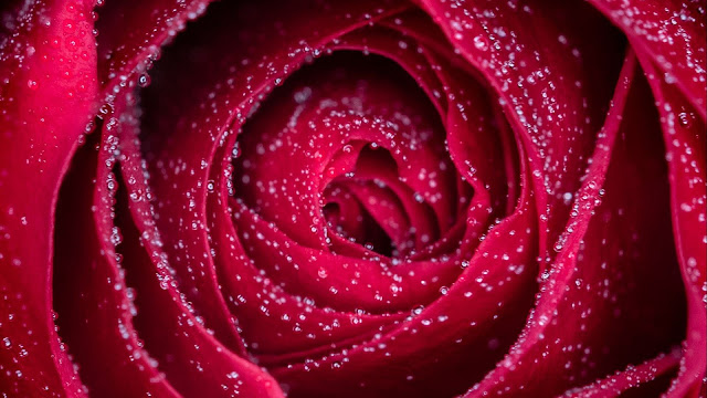 Red Rose with Waterdrops HD flowers Wallpapers
