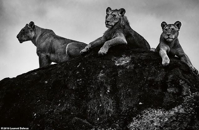 Ông dành 17 năm, 30 chuyến đi khắp Châu Phi để chụp sư tử
