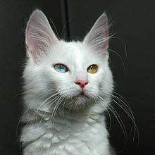 Mengenal Kucing Anggora Asal Persia Yang Suka jadi sahabat Manusia.