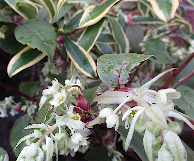 Roger Brook The No Dig Gardener Have You Tried Ribes Laurifolium