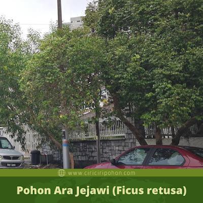 Ciri Ciri Pohon Ara Jejawi (Ficus retusa)