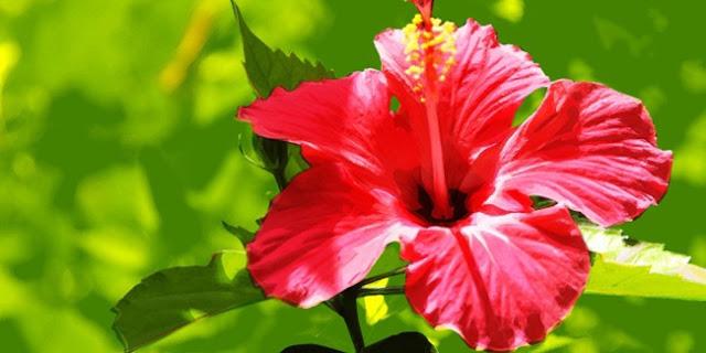 7 Manfaat Luar Biasa Di Balik Bunga Sepatu Bagi Kesehatan