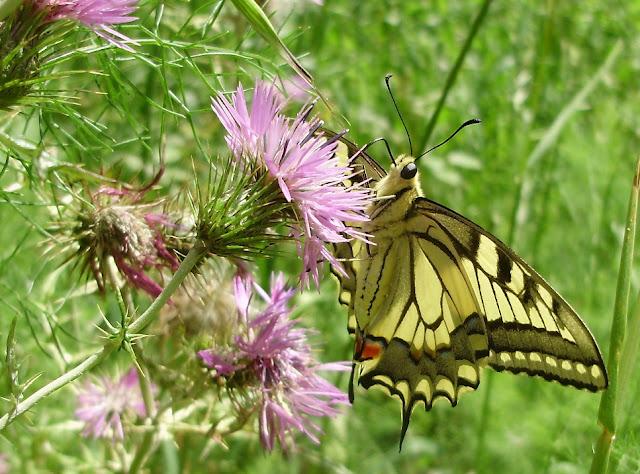 Bolboreta Papilio machaon libando