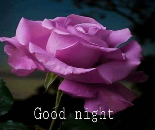 Good Night Pink Rose Wallpaper