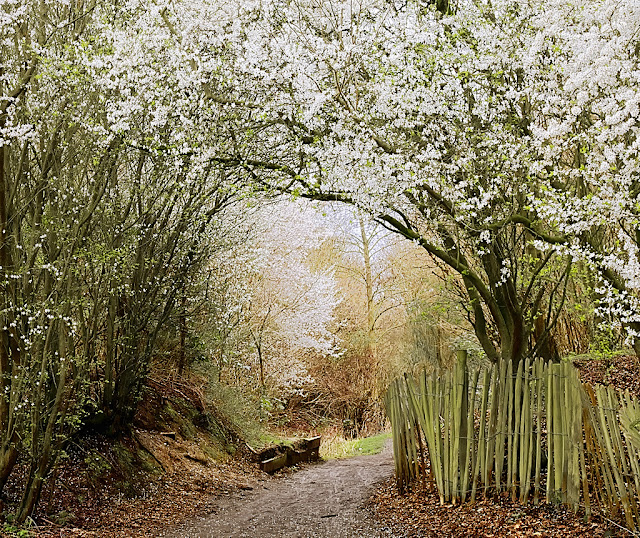 Arch of white blossom over path with more blossom laden trees beyond.