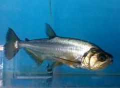ikan vampir jenis payara