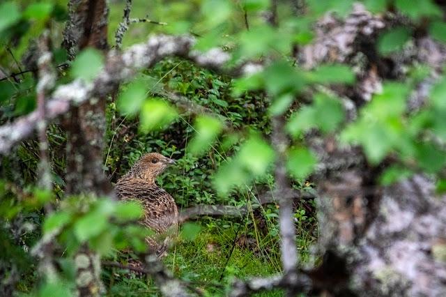 Tjäderhöna gömmer sig i buskarna