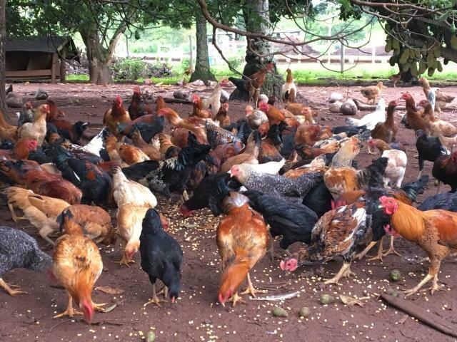 MG: Produtores de frango caipira do Triângulo receberão o selo do Certifica Minas