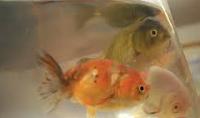 Jenis Ikan Koki Lionhead perawatan