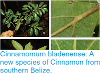 http://sciencythoughts.blogspot.co.uk/2017/08/cinnamomum-bladenense-new-species-of.html