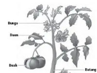 Organ Pada Tumbuhan – Perbedaan Organ Tumbuhan Dikotil dan Monokotil