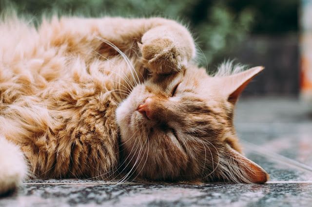 long haired cat:Photo by Ludemeula Fernandes on Unsplash
