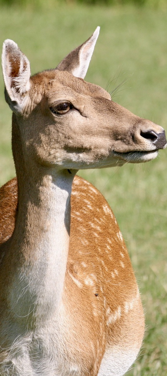 Picture of a fallow deer.