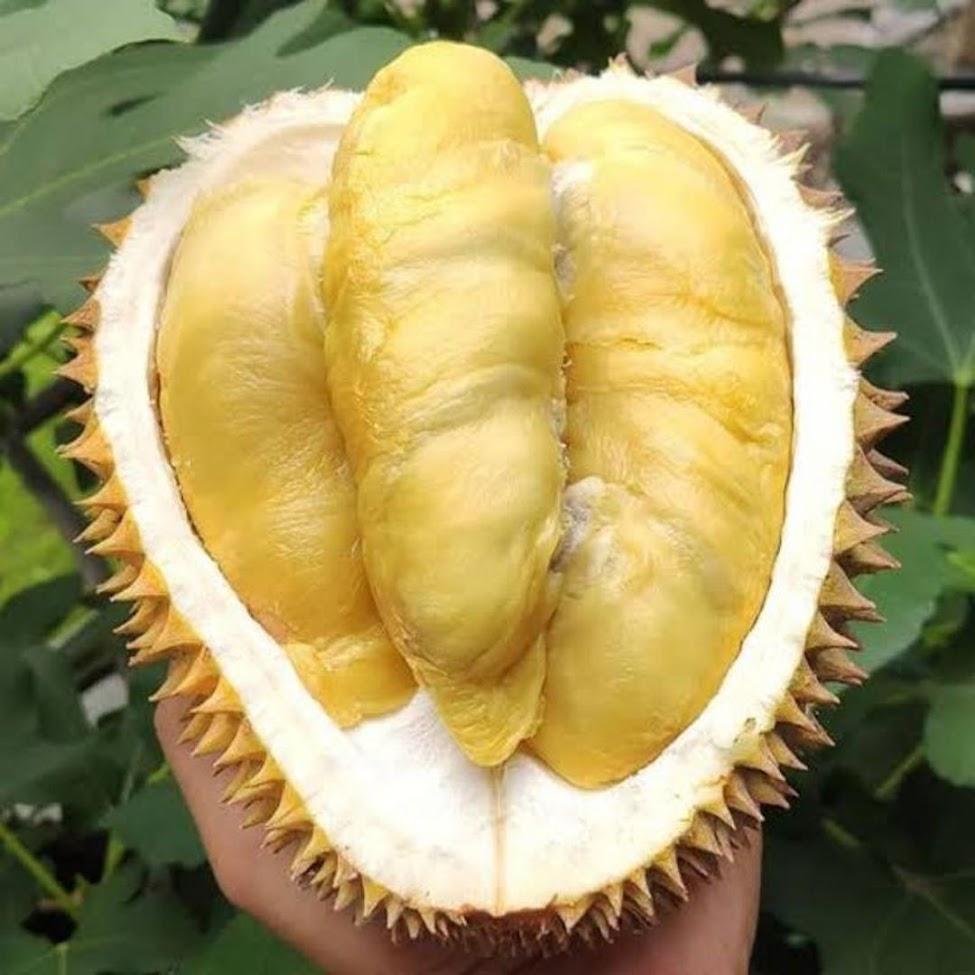 Bibit Durian Duren Monthong Super Unggul Cepat Berbuah Termurah dan Terlaris Sawahlunto