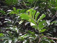 Ylang ylang leaf and flower bud - Senator Fong's Plantation and Gardens, Oahu, HI