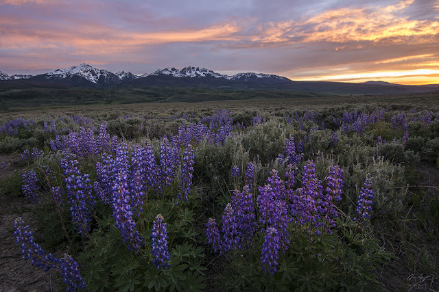 Sunset over the gore range with lupine wildflowers landscape photography by Aaron Spong