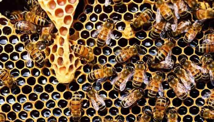 Lebah Madu masuk Rumah