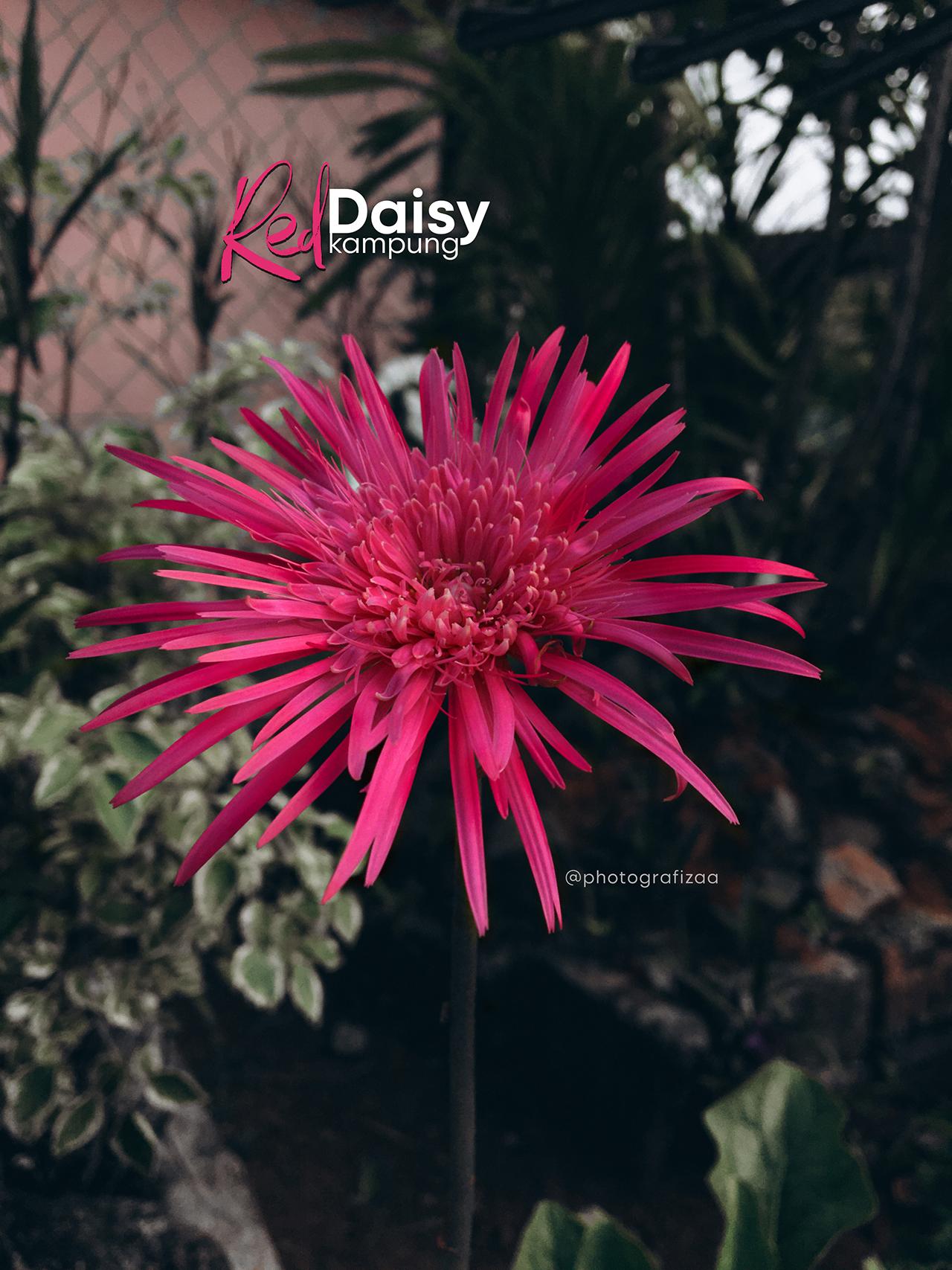 Bunga Daisy Kampung Merah