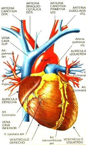 Imagen del corazón humano señalando sus partes para niños