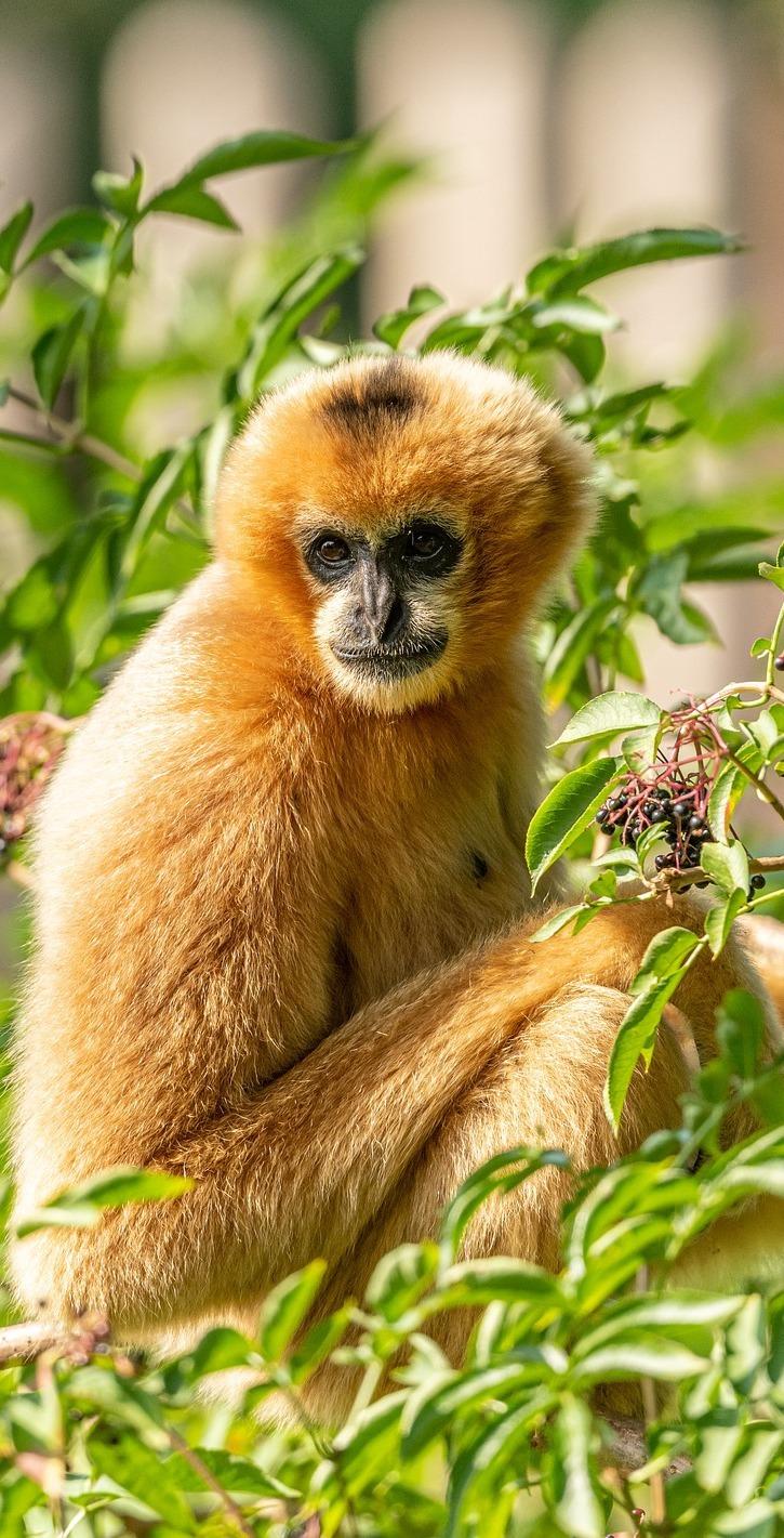 Cute gibbon.