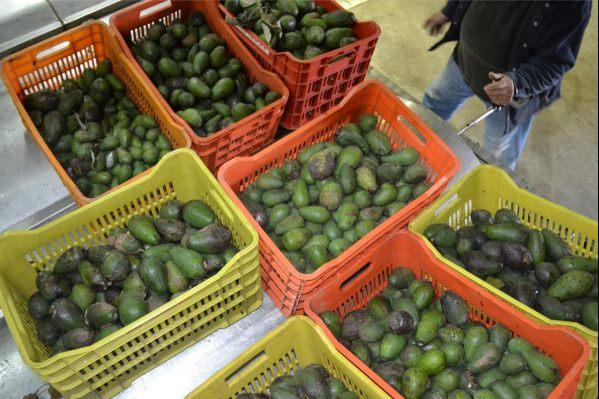 Κλοπή για ρεκόρ Γκίνες στα Χανιά: Έκλεψαν 20 τόνους αβοκάντο από χωράφια