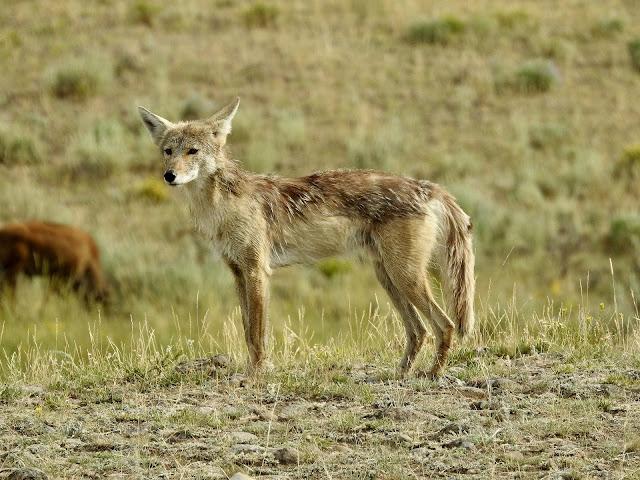 Coyotes habitat